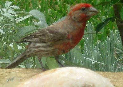 Annieninaustin, housefinch