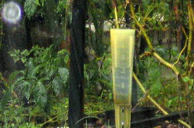 Annieinaustin, 2 inches in gauge