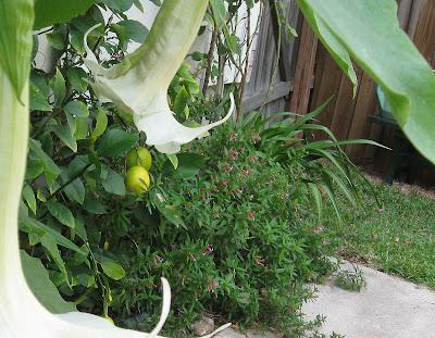 Annieinaustin,brugmansia, Meyer's lemons