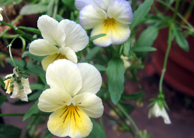 Annieinaustin, yellow violas