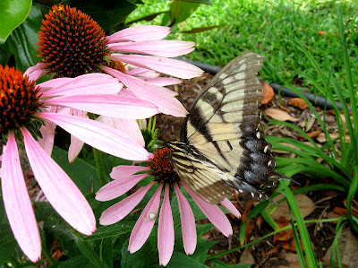 Annieinaustin, swallowtail butterfly on coneflower