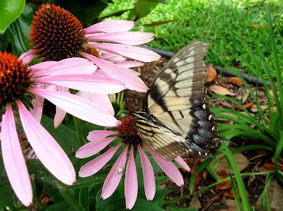 Annieinaustin, swallowtail butterfly on coneflower