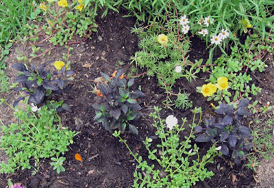 Annieinaustin, black pearl peppers and portulaca