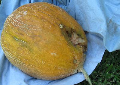 Annieinaustin, mystery melon critter bitten