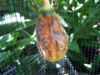 Annieinaustin, unpollinated melon