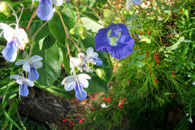 Annieinaustin,blue clerodendron, blue pea with firecracker plant