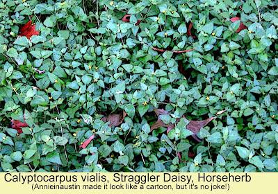 Annieinaustin, Horseherb, Calyptocarpus vialis