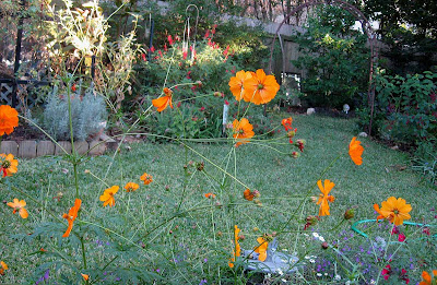 annieinaustin, orange cosmos