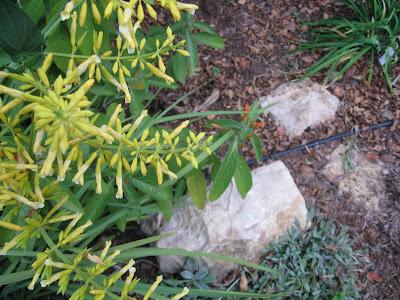 Annieinaustin, Salvia madrensis