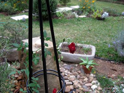Annieinaustin, Red Cascade climbing miniature rose