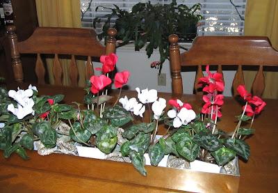Annieinaustin, cyclamen & holiday cactus