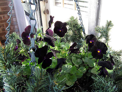 Annieinaustin, black pansies hanging basket