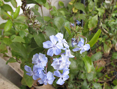 Annieinaustin blue plumbago in January