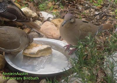 Annieinaustin,2011,02,whitewing doves