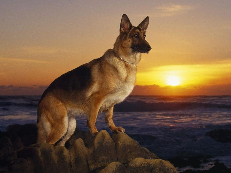 [A+Day+at+the+Beach+German+Shepherd.jpg]
