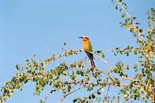 white fronted bee-eater ~ zimbabwe