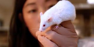 tikus-percobaan
