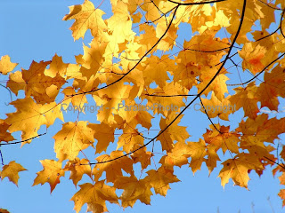 bright gold yellow fall leaves blue sky