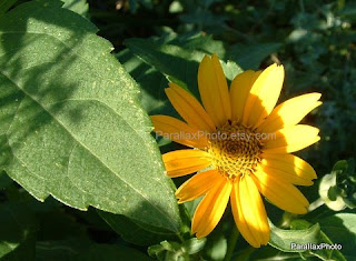 yellow daisy flower green leaves