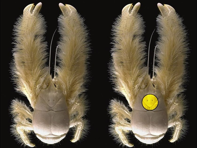 how a blind bristled heatloving yeti crab thrives in - 838×630