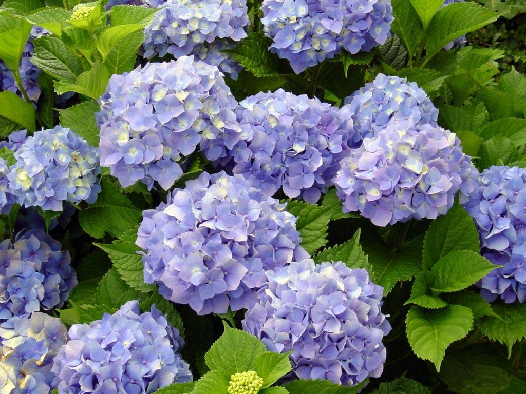 mis jovis plantas y fotos hortensias