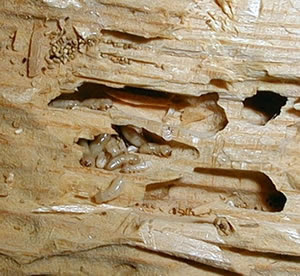 termite woods