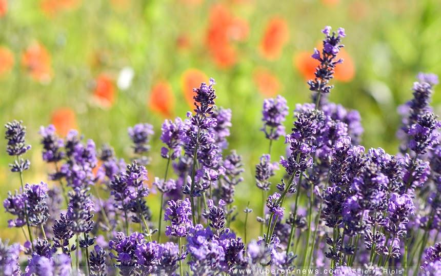 http://1.bp.blogspot.com/_L9F9mkJLYH4/TBo5fRIjbAI/AAAAAAAAAAs/6co2gbDc-kg/S860-R/Lavande-coquelicot-Provence%5B1%5D.jpg