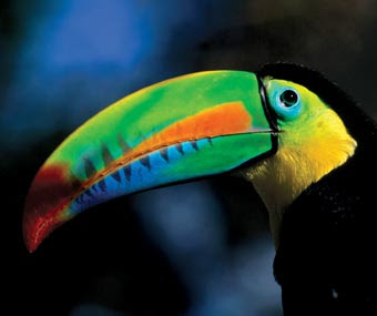Toucan seen in Soberania National Park, Panama