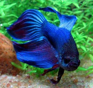 All about pets siamese fighting fish for All about fish