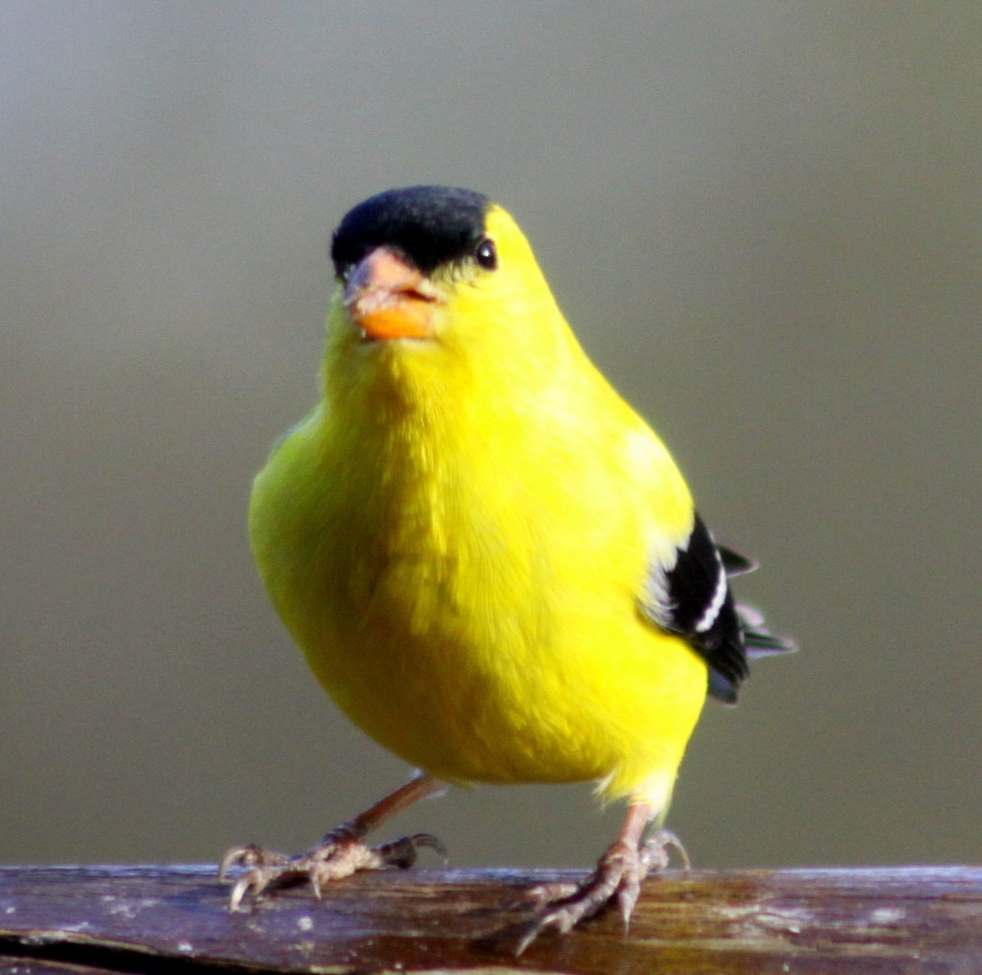 How to Attract Yellow Finches