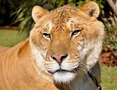 Zonkey and liger