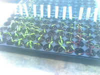 Our mini forest of tomato seedlings, practically indistinguishable from each other