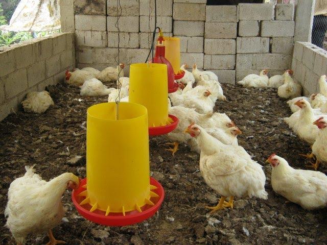 Come allevare polli da