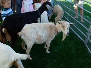 Goats at petting zoo