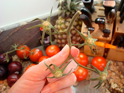Hand holding vine from tomatoes