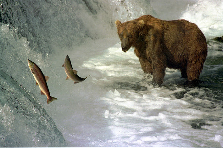 Wild Salmon Leaping