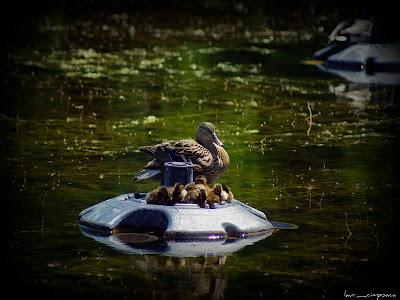Rata salbatica Duck Pato Πάπια