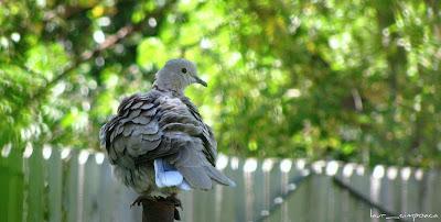 Gugustiuc-Eurasian Collared Dove-Tórtora turca-Türkentaube