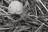 Helix pomatia -melc de gradina