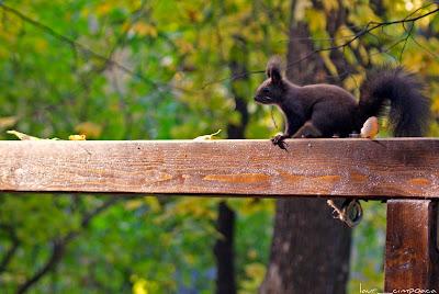 Veverita-Squirrel-Σκίουρος-Eichhörnchen-Mókus-Écureuil-Esquilo-Ardilla