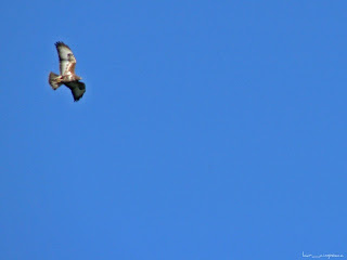 CommonBuzzard-Buteobuteo-Mäusebussard-Egerészölyv-Busevariable