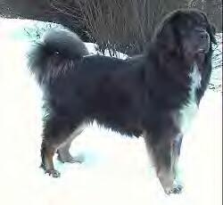 Tibetan Mastiff Most Expensive Dog in the World