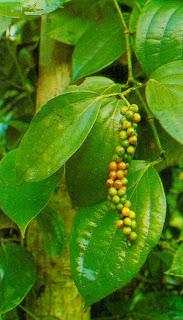 termasuk tanaman rempah yang banyak dikembangkan di Indonesia Cara Budidaya Tanaman Lada