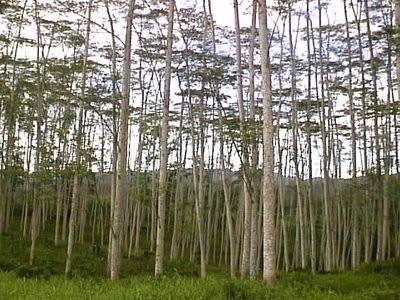 Pengapuran tanah masam pada lahan sengon
