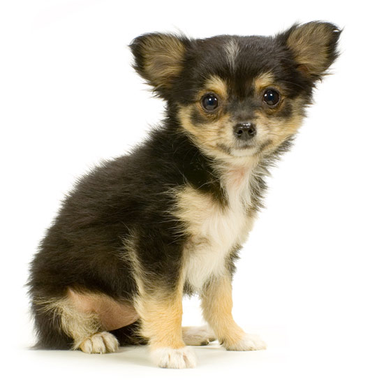 pomeranian long haired chihuahua mix. Long Haired Chihuahua Puppies
