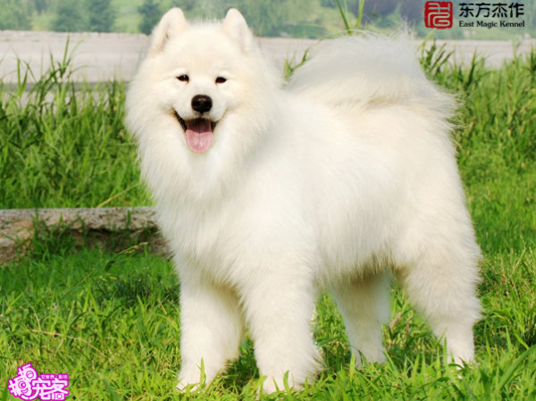 Samoyed Mixed Breeds Samoyed dog breed
