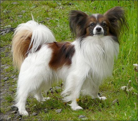 small dog breeds images. Papillon Small Dog Breeds