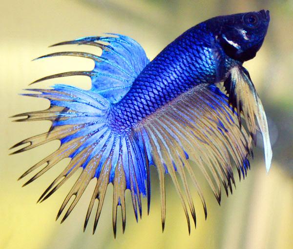 Betta fish care for Pretty betta fish