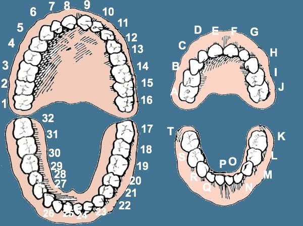 Tooth To Tooth  Online Flashcards  Games To Learn Tooth Numbers
