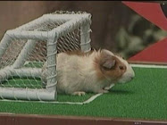 A guinea pig playing in goal